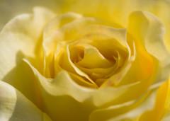 yellow race