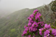 霧のミヤマキリシマ