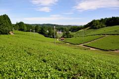 茶畑に秋の気配