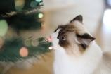 赤鼻のネコ