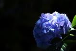 紫陽花 -暗ー