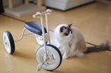 ネコと3輪車