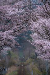 電車待ち桜トンネル