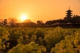 夕日に染まる菜の花畑