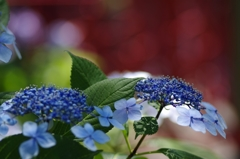 華やかな紫陽花