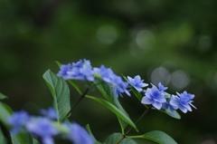 しっとりと紫陽花