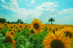blue sky and sunflowers