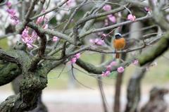 梅に停まる鳥②