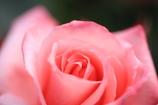 薔薇の喜び