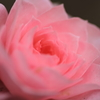 ミニ薔薇の微笑み