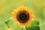こっちにおいでよ~sunflower