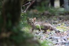 栗野岳温泉の仔猫(●´ω`●)