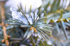 葉っぱに雪