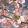 河津桜にメジロ1