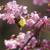 河津桜にメジロ2