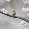 早朝の桜カワセミ1