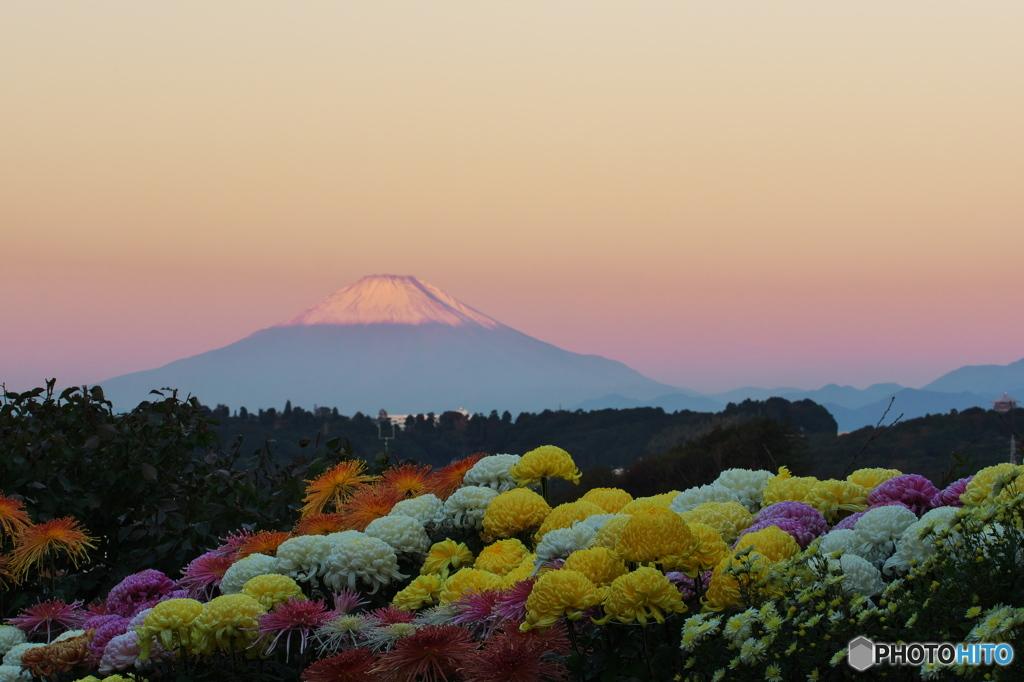 菊と富士と