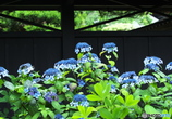 紫陽花だより(東慶寺)