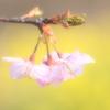 河津桜のささやき