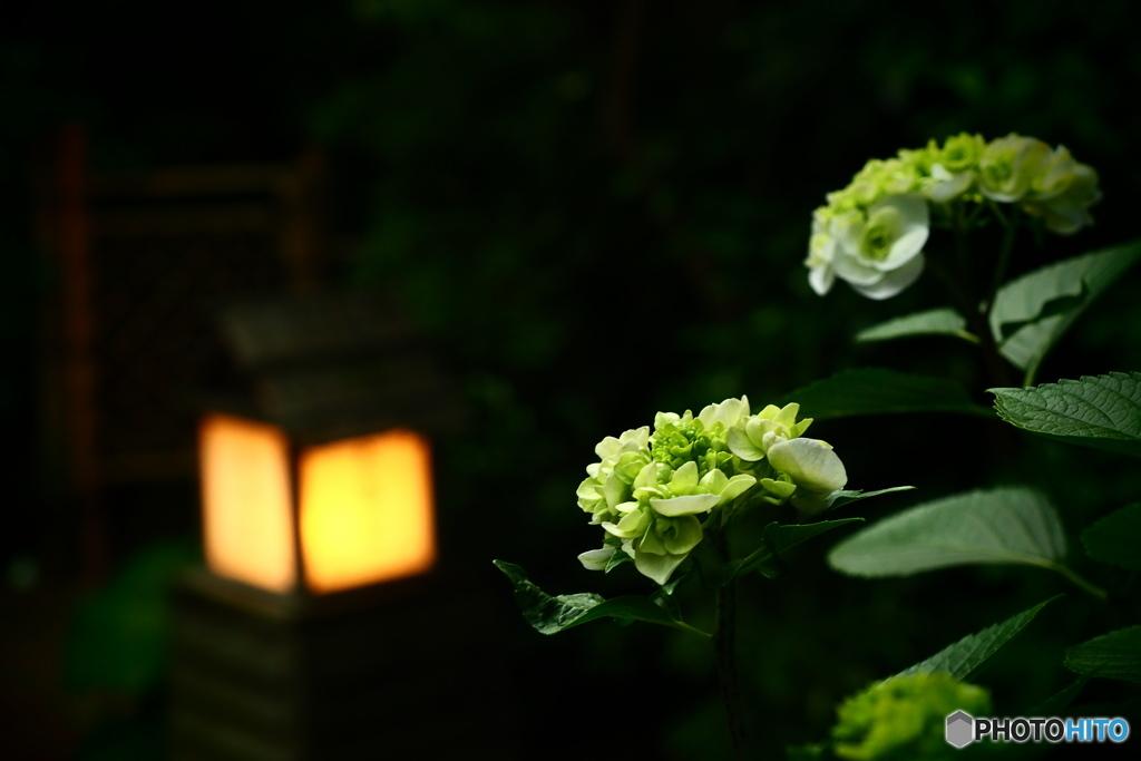 紫陽花と行燈と