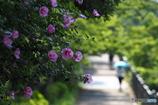 むくげ咲く路