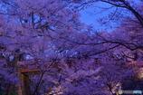 思い出桜3(宵桜)10年前