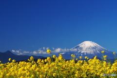 富士憧憬25(吾妻山公園 菜の花)