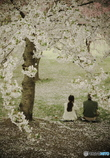 思い出桜7