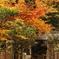 鎌倉Now02(明月院)