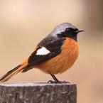 初撮り小鳥
