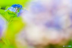 ひよっこり紫陽花