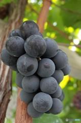 甲州のワイナリー ブドウ