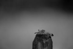 熨斗目蜻蛉