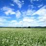 大好きな安曇野 蕎麦畑