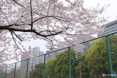桜とビル群