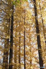秋の針葉樹林