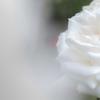 初薔薇〜白〜