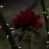 初薔薇〜鋭〜