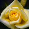 初薔薇〜黄〜