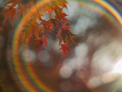朝紅葉虹環