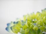 初夏紫陽花
