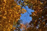 ふらり散歩 Autumn Leaves 8