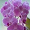 義母の花 胡蝶蘭 1