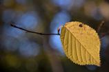 ふらり散歩 Autumn Leaves 7