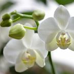 休日の過ごし方 小柄な胡蝶蘭
