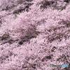 南足柄 春めき桜