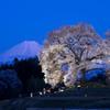ワニ塚の桜と富士