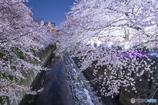 2017神田川 夜桜