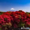 大ツツジと富士山