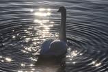 煌めく白鳥の湖